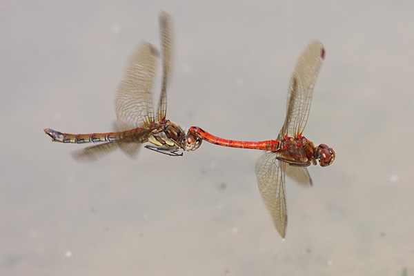 Common Darters over the dewpond