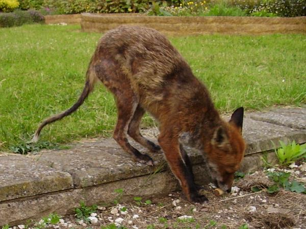Fox with poor condition coat