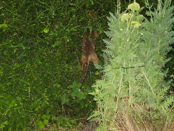 fox climbing hedge