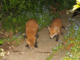 two young fox cubs