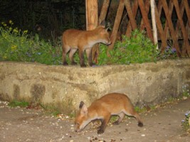 young fox cubs