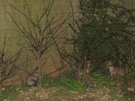 three young fox cubs