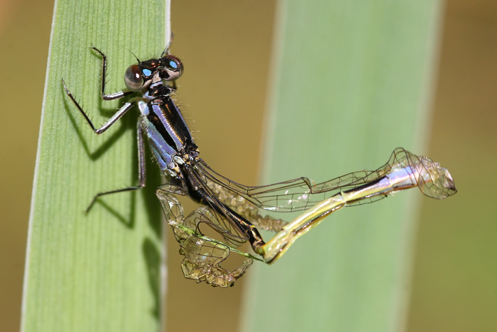 damselfly emerging