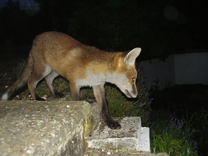fox cub on steps