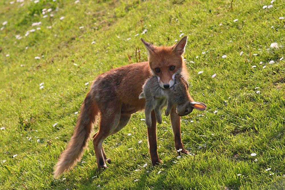 Do Foxes Kill Cats Uk