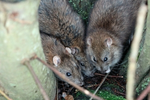 Three rats among the tree roots at the edge of Falmer Pond, East Sussex