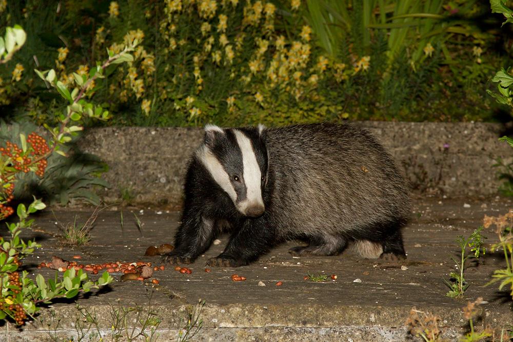 badger_1508125945