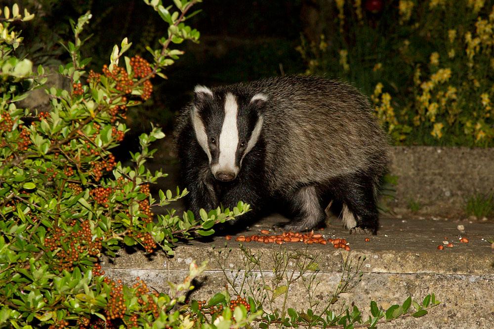 badger_1708126567