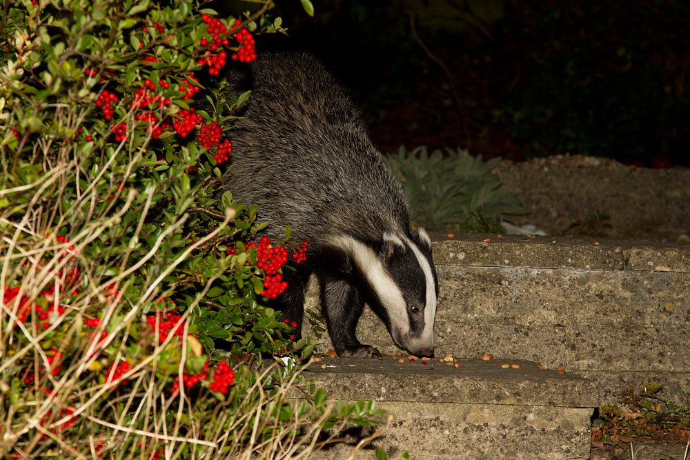 Badger (Meles meles) foraging peanuts in a Sussex suburban garden.