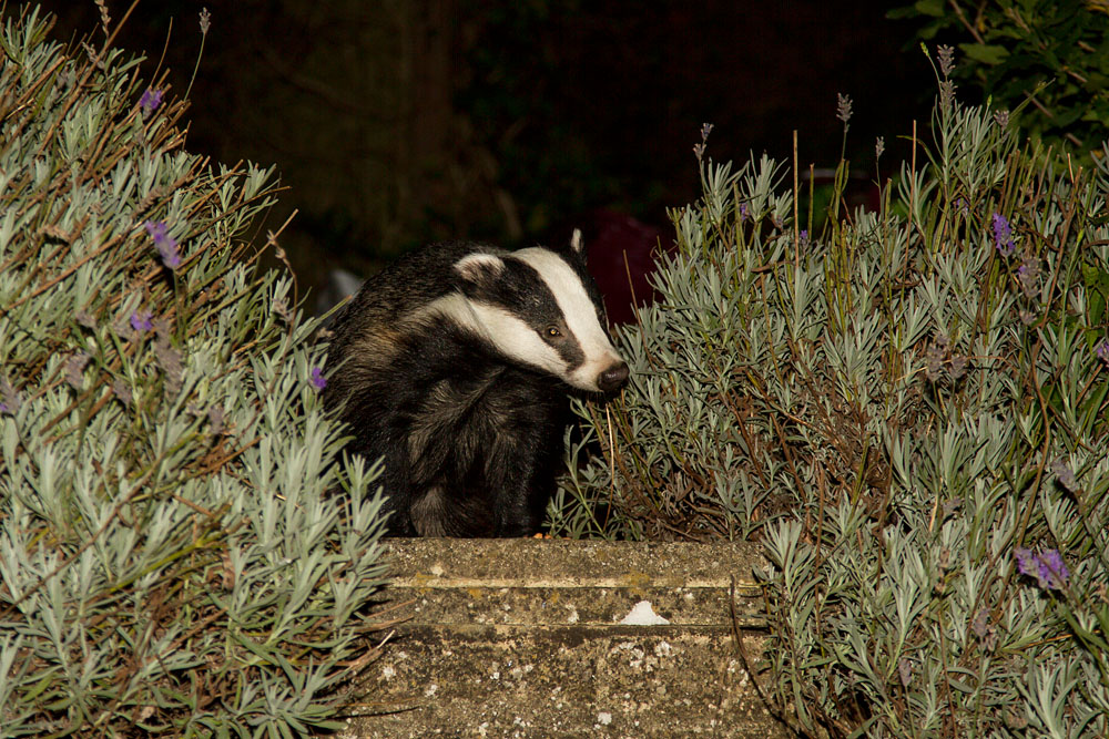 Badger (Meles meles) exploring in a suburban garden with head raised.