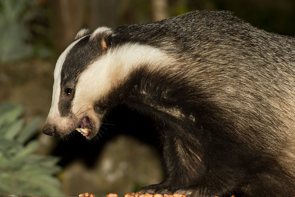 Badger in a suburban garden in East Sussex.