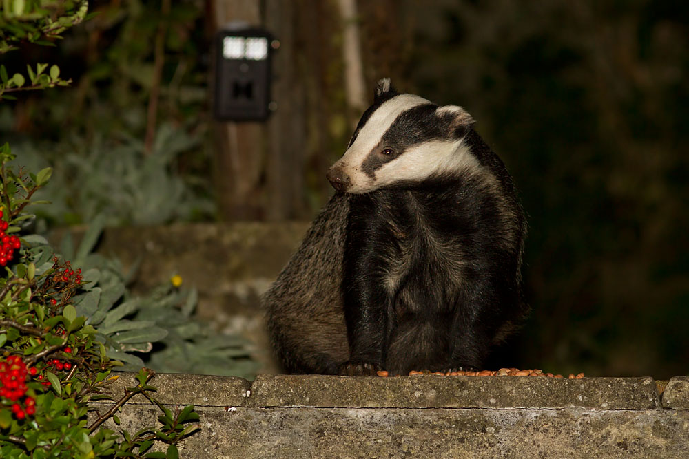 Badger (Meles meles) sniffing the air in a suburban garden in Sussex in view of a trail camera.
