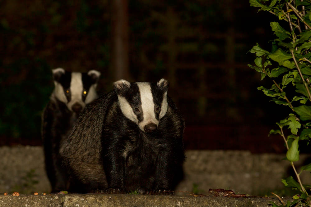 Two badgers (Meles meles) in a Sussex suburban garden.