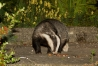 badger_1308125310