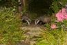badger_1408125665