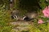 badger_1408125669