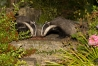 badger_1408125670