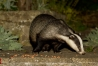 Badger (Meles meles) in a suburban garden in Sussex.