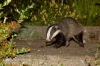 badger_1508125957