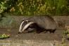badger_1508125958