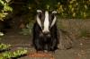 badger_1708126572