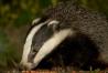 badger_2508127816