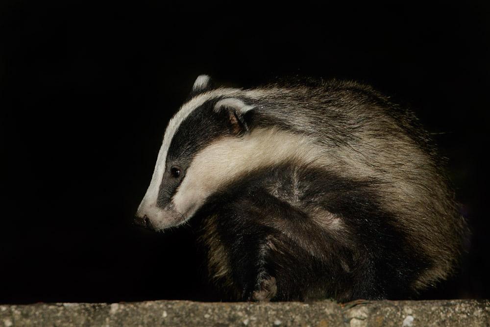 Badger in garden (badger #2)