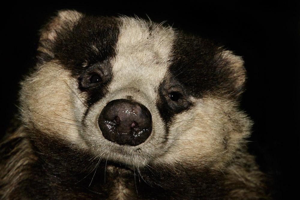 Badger in garden (male #1)