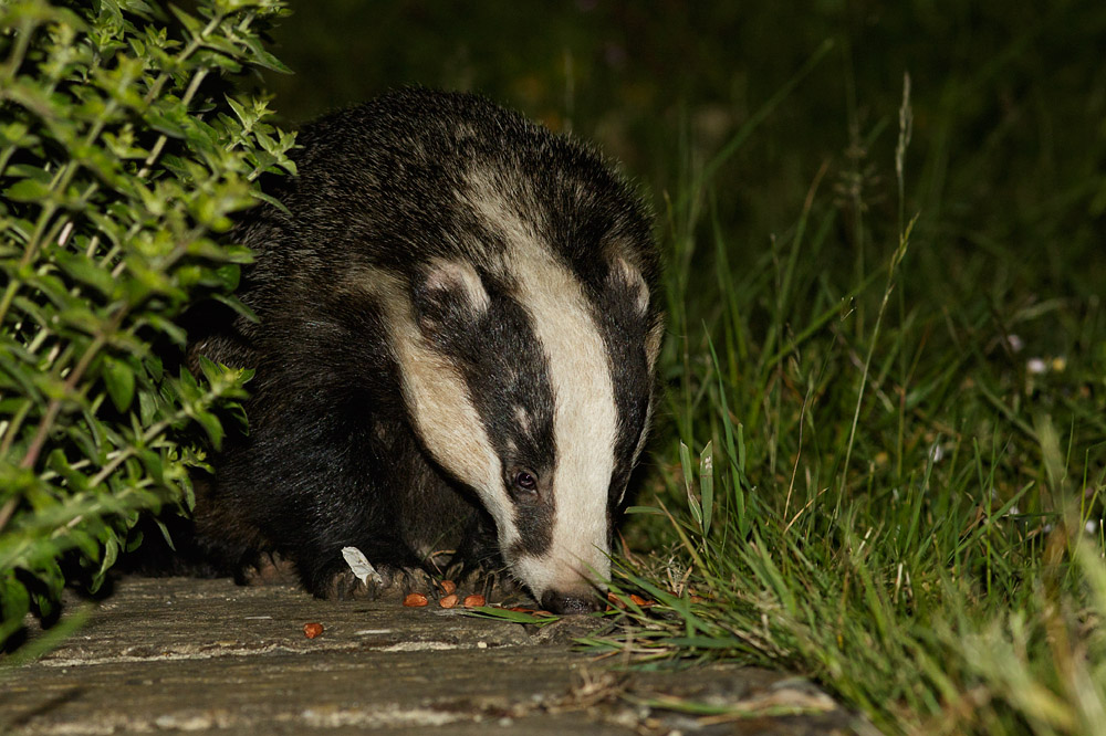 Badger on path