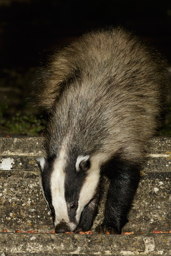 Badger in garden (#2)