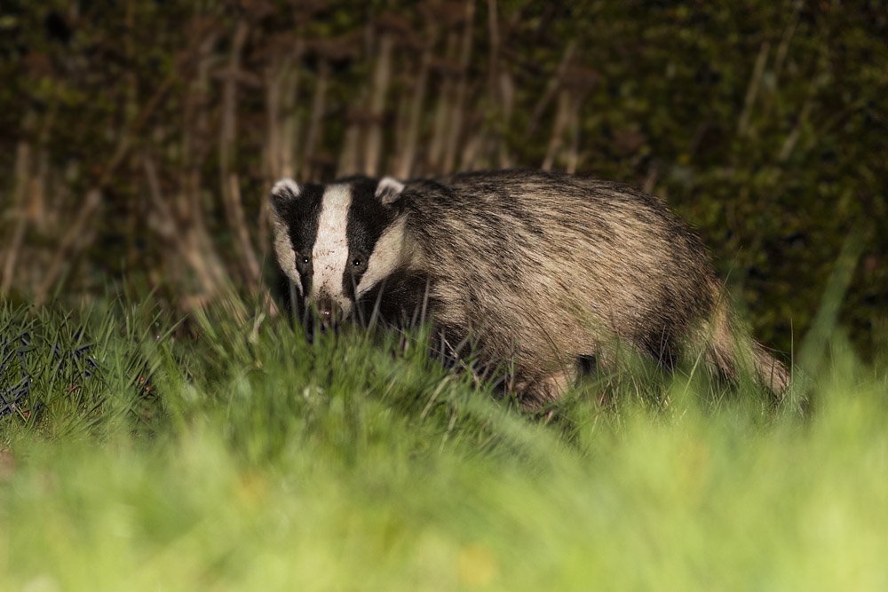 Badger in grass in garden