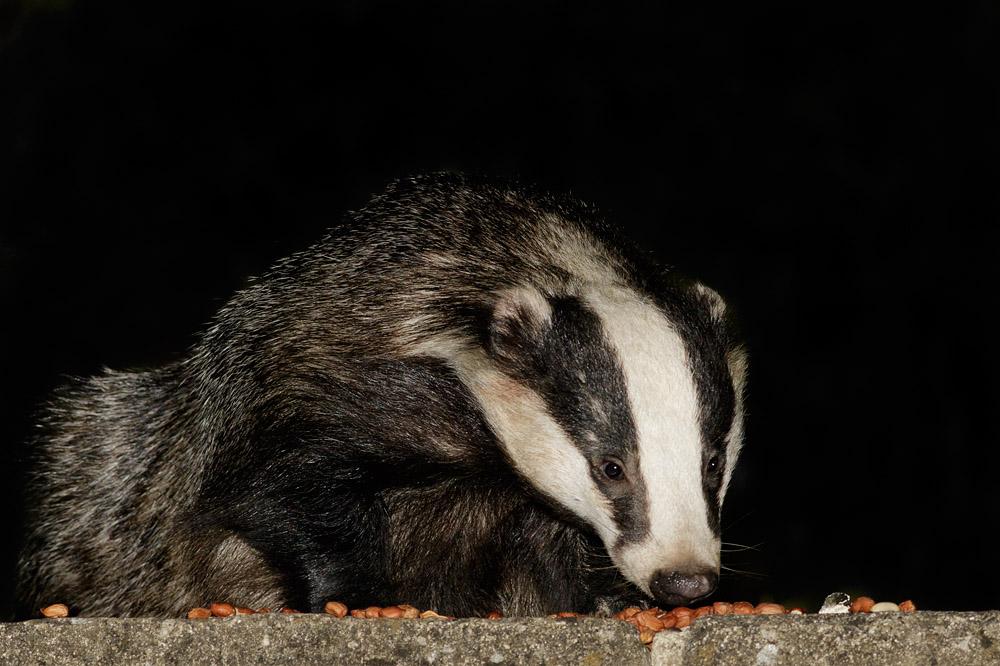 Badger on rear patio