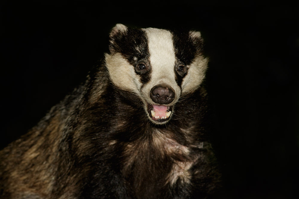Badger with mouth open