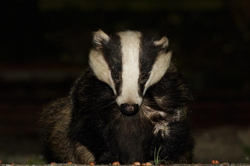 Badger in garden