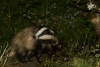 Badger in garden