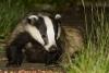 Badger in garden (#2)