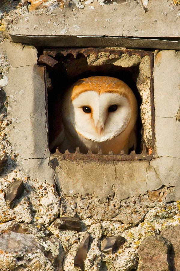 barn_owl_0103120065