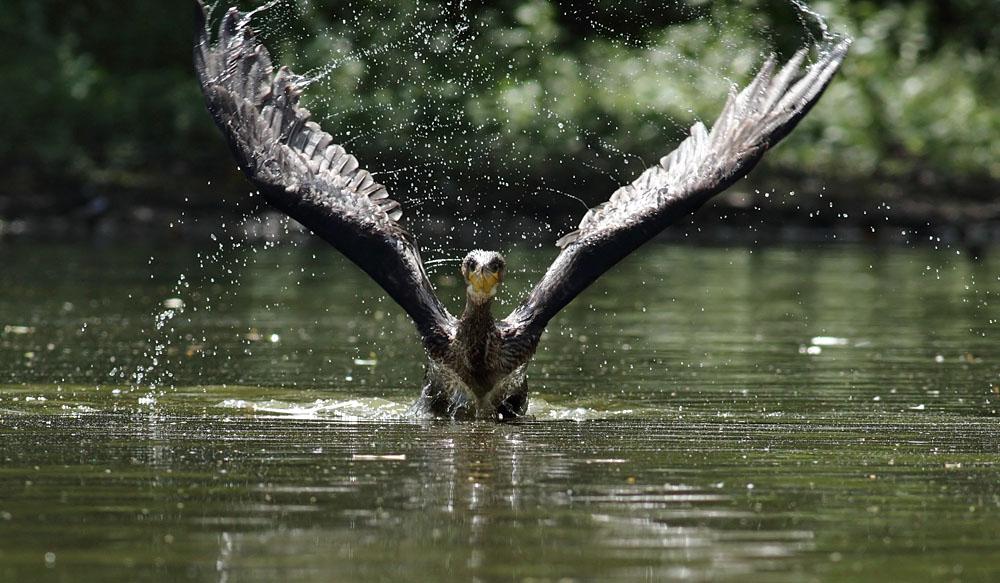 cormorant_1008111788