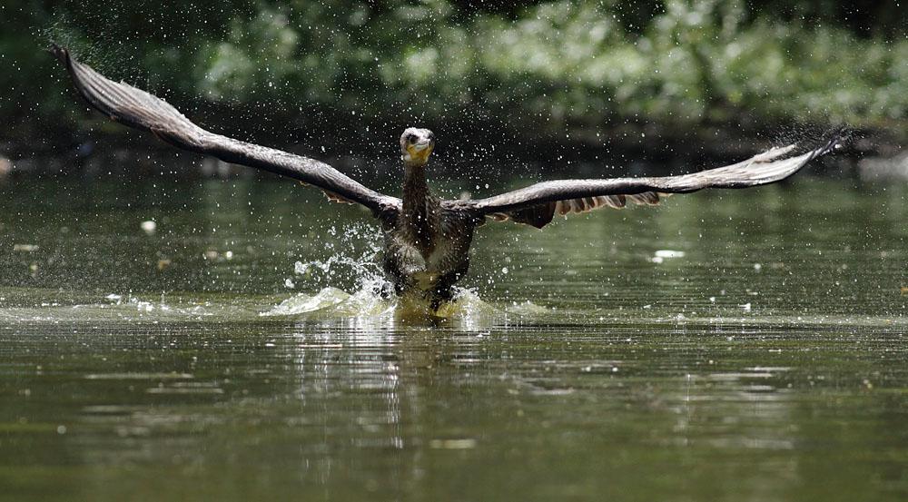 cormorant_1008111790