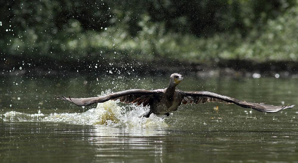 cormorant_1008111794