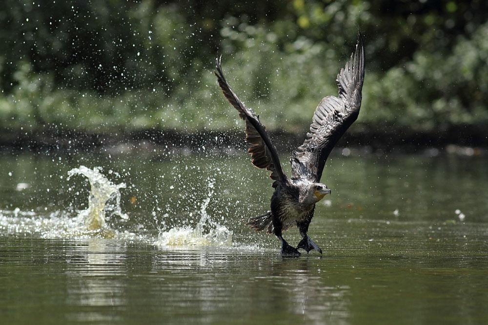 cormorant_1008111798