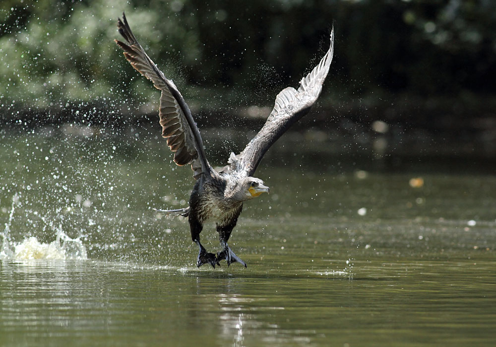 cormorant_1008111801