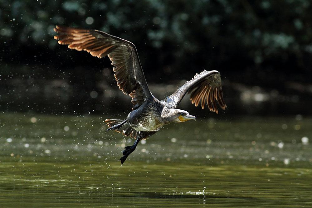 cormorant_1008111804