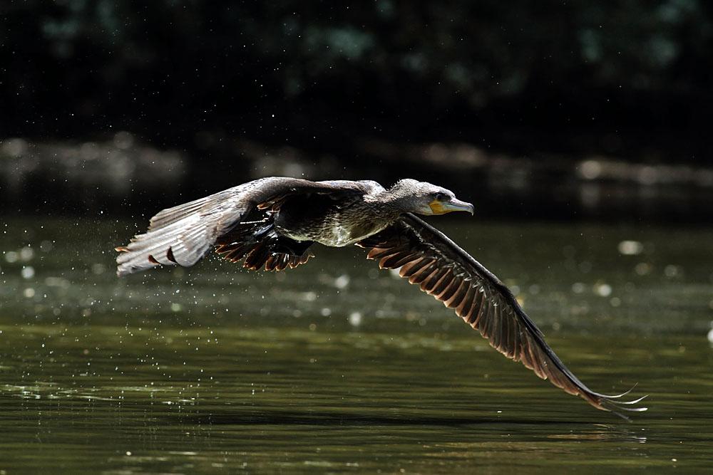 cormorant_1008111805