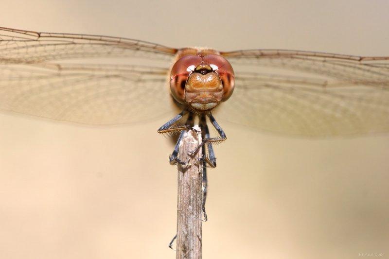 darter_dragonfly_0508097451