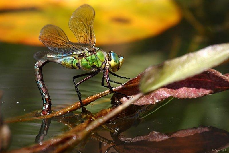 emperor_dragonfly_0107090789_0