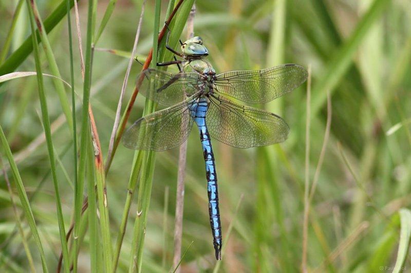 emperor_dragonfly_0107109602_0