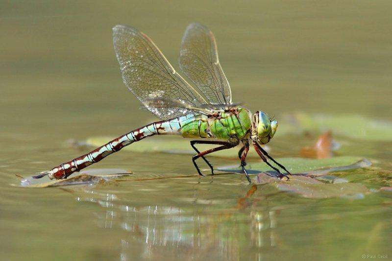 emperor_dragonfly_0807101175_0