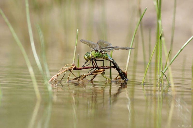 emperor_dragonfly_3006109326_0