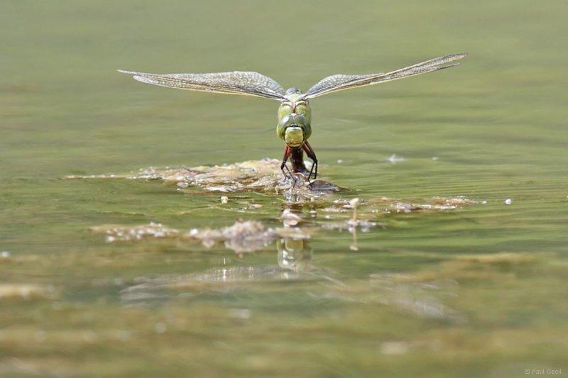 emperor_dragonfly_3006109349_0